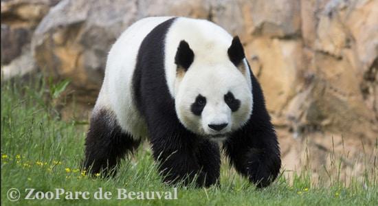Zoo de Beauval - Der panda