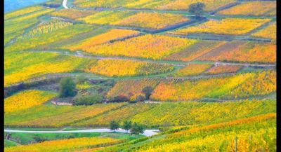 Vineyard - Autumn in Alsace
